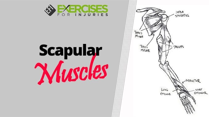 Scapular Muscles