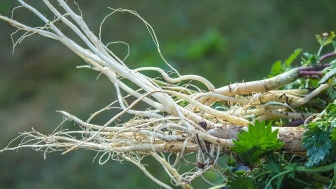 white-root-young-nettle-herbal