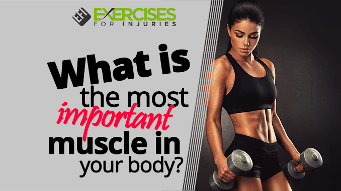 What is the most important muscle in your body
