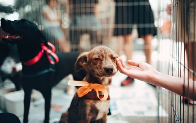 person-touching-brown-puppy
