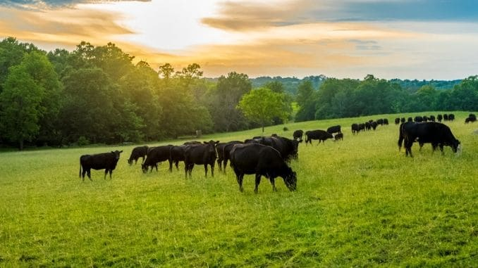field of black cows